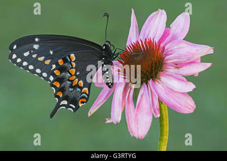 E Black Swallowtail Butterfly adult female (Papilio polyxenes) feeding on Purple Coneflower (Echinacea purpurea) - Stock Photo