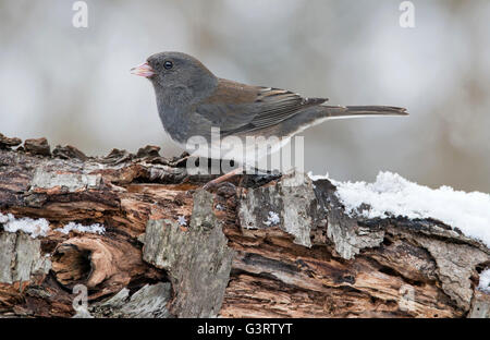 Slate-Colored or Dark-eyed Junco hyemalis, female, winter, Eastern USA - Stock Photo
