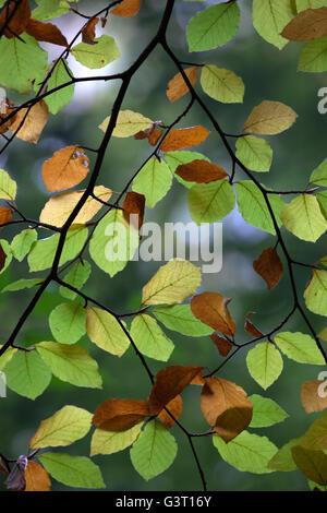 Backlit autumnal Beech tree leaves, near Winchcombe, Gloucestershire, England, United Kingdom, Europe - Stock Photo