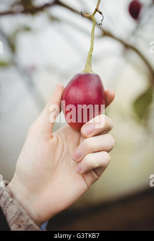 Close up view of hands picking plum - Stock Photo