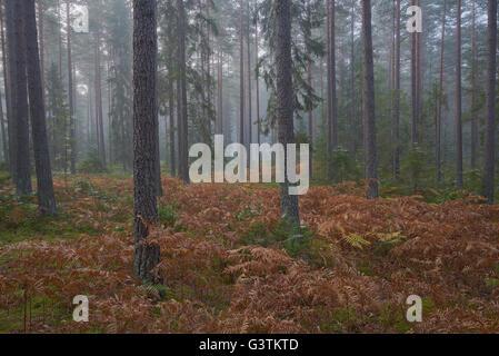 Sweden, Ostergotland, Kolmarden, Conifer forest - Stock Photo