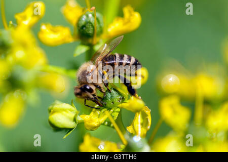 Ruta graveolens,  rue or herb-of-grace, Honey bee - Stock Photo
