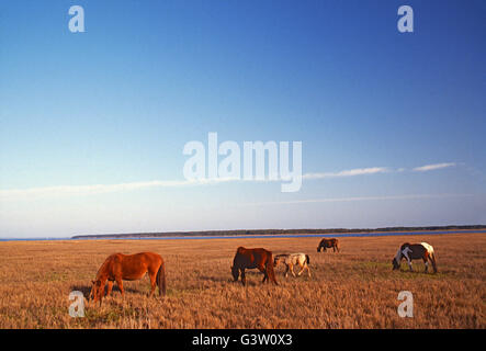 Wild horses (known as 'Ponies') in Chincoteague National Wildlife Refuge, Assateague Island, Virginia, USA - Stock Photo