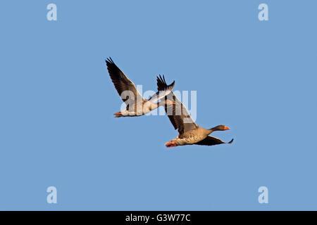 Two migrating greylag geese / graylag goose (Anser anser) in flight against blue sky - Stock Photo