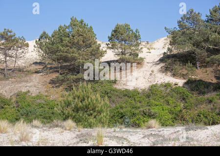 Sand dunes encroaching on pine trees Dune of Pyla Southern France - Stock Photo
