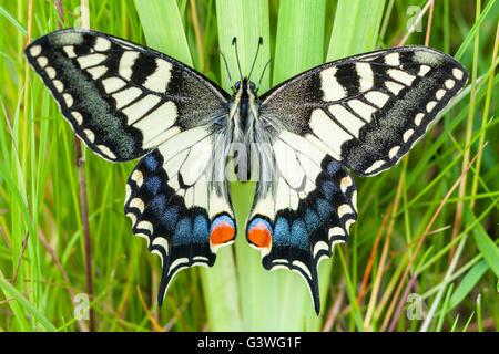 Swallowtail butterfly resting on Yellow Iris stalk  Norfolk UK - Stock Photo