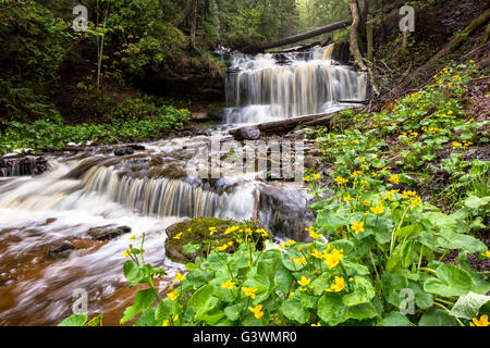 Marsh marigolds are in full bloom at Wagner Falls Scenic Site near Munising Michigan in the Upper Peninsula. - Stock Photo