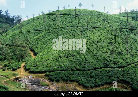 INDIA, Tamil Nadu, Nilgiris, Coonoor, tea estate in Nilgiri mountains - Stock Photo