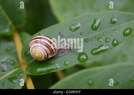 Snail and water droplets on a leaf after a rain shower - Stock Photo