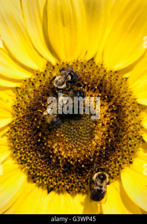 Bee and sunflower. - Stock Photo