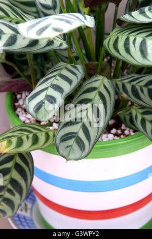Indoor plant  Calathea concinna  or known as Zebra Plant , Peacock Plant , Rattle Snake Plant, Prayer plant, neat - Stock Photo