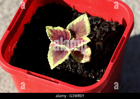 Close up of  Coleus Defiance or known as  Plectranthus scutellarioidesseedling  or Painted Nettle Plants growing - Stock Photo