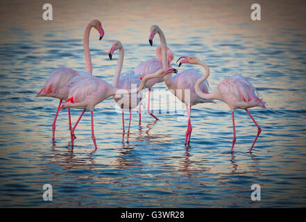 Flamingos are a type of wading bird in the genus Phoenicopterus, the only genus in the family Phoenicopteridae. - Stock Photo