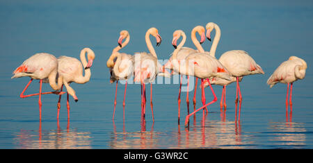 Flamingos are a type of wading bird in the genus Phoenicopterus, the only genus in the family Phoenicopteridae.