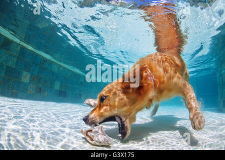 Playful golden retriever labrador puppy in swimming pool has fun - dog jump and dive underwater to retrieve shell. - Stock Photo