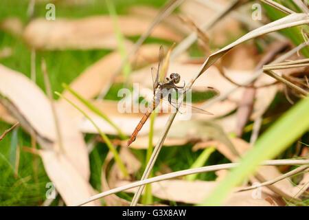 Orange Dragonfly landing very close. - Stock Photo
