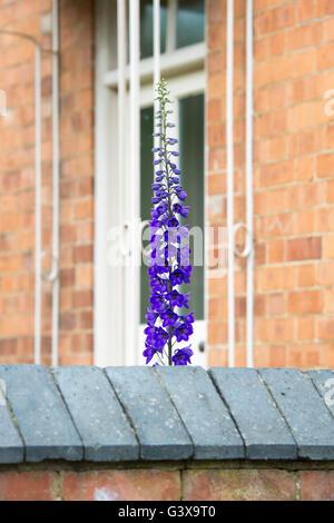 Delphinium 'Purple Velvet' flower outside a cottage window. Ashton Under Hill, Wychavon district, Worcestershire, - Stock Photo