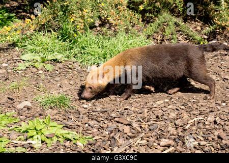 Bush dog foraging