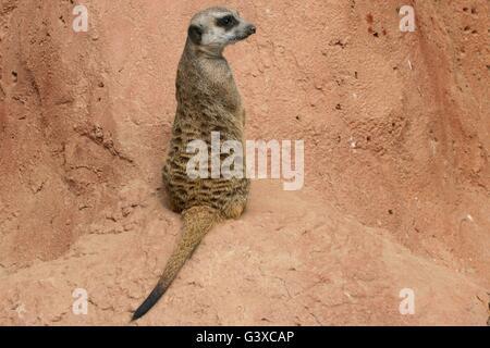 Meerkat stood staring - Stock Photo