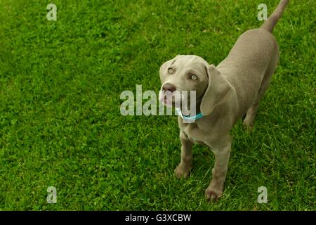 Cute Puppy German Weimaraner staring up at you - Stock Photo