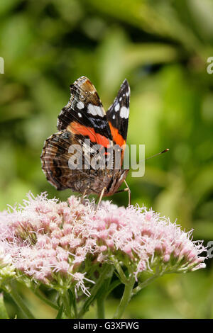 Red Admiral, Vanessa atalanta, single adult  feeding on Hemp Agrimony. Taken August.  Minsmere, Suffolk, UK. - Stock Photo