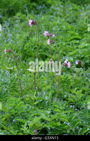 A spring flowering of Red Campion (Silene dioica, Melandrium rubrum) growing wild on Devils Dyke, east Sussex. - Stock Photo