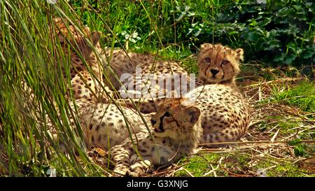 Family of young cheetahs chilling in the sun