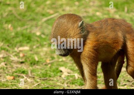 Beautiful baby monkey having a little wonder - Stock Photo