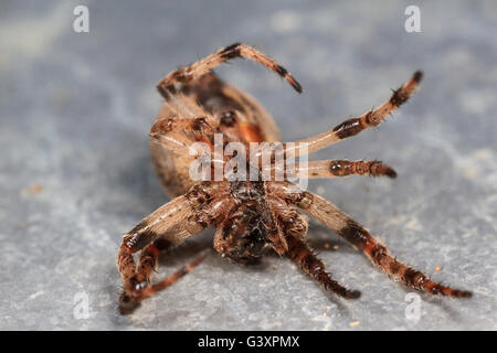 Dead orbweaver spider. - Stock Photo