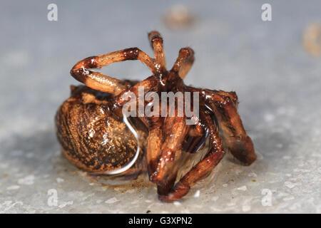Dead orbweaver spider - Stock Photo