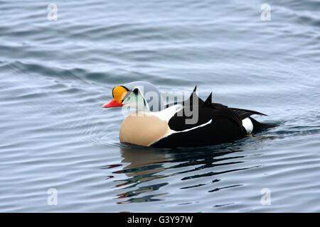 King Eider, Somateria spectabilis, single adult male swimming on sea. Taken March. Varanger, Norway. - Stock Photo