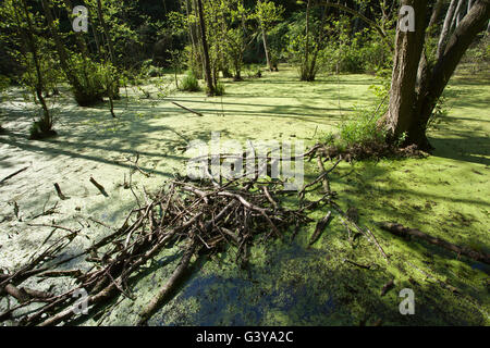 Beech forest, Jasmund National Park, Ruegen, or Rugia, Mecklenburg-Western Pomerania - Stock Photo