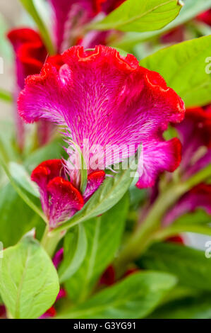 Red Crested Celosia flower and leaves - Stock Photo