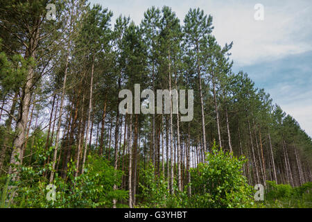 Common spruce, Picea abies, forest in Germany. - Stock Photo