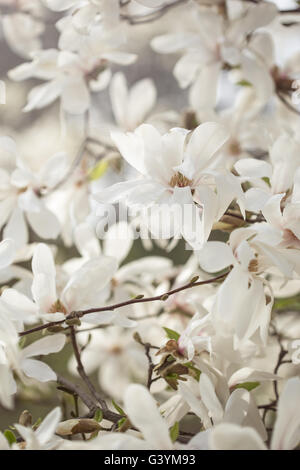 Magnolia flowers in spring park, beautiful white blossoms in the spring - Stock Photo