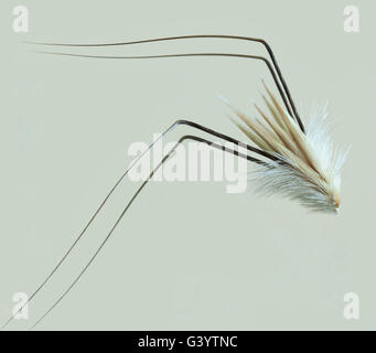 Avena fatua - Stock Photo