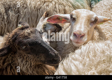 Three sheep in close up - Stock Photo
