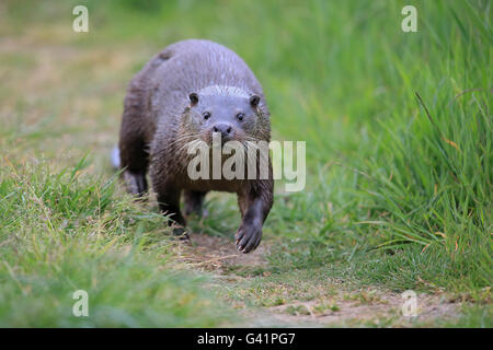 Common Otter (Lutra lutra) - Stock Photo