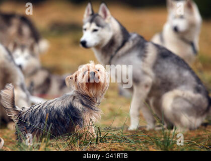 Dogs at the annual rally organised by the Siberian Husky Club of Great Britain in Glenmore Forest Park near Aviemore. - Stock Photo
