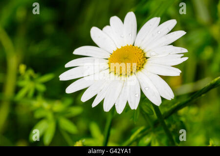Leucanthemum vulgare (Oxeye Daisy) growing in Summer in the UK. - Stock Photo