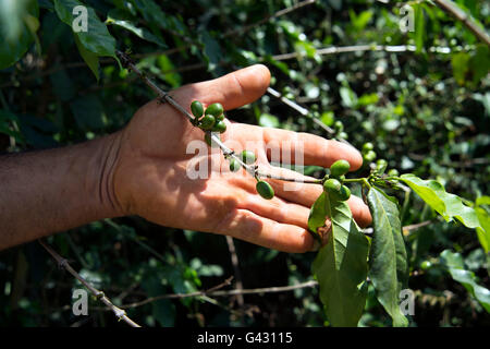 Unripe coffee beans still on the bush held in a farmers hand in the Valle de Vinales Cuba - Stock Photo