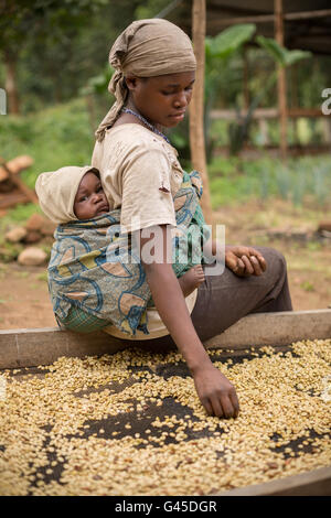 Coffee beans are sorted and dried on drying beds by farmers at a cooperative in Kasese District, Uganda. - Stock Photo