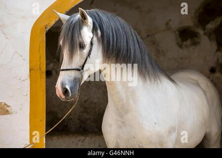 Beautiful PRE stallion portrait - Stock Photo