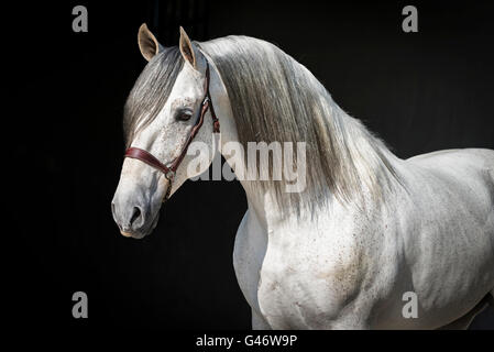 Beautiful PRE stallion portrait - Stock Photo