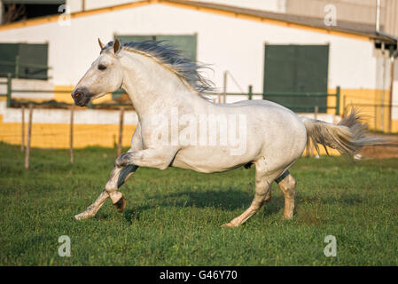 Gray PRE stallion running free in the sunset in Spain - Stock Photo