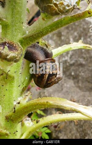 Snails climbing over a dying plant in a suburban garden - Stock Photo