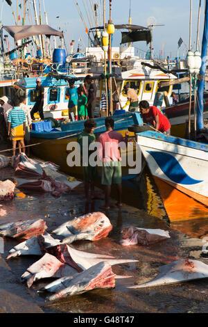 Sri Lanka, Mirissa Harbour, early morning, manta ray parts for sale on quay - Stock Photo