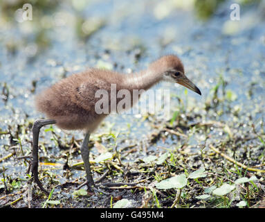 Limpkin Chick in Florida Wetlands - Stock Photo