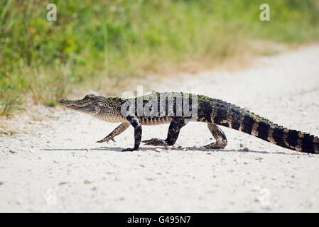 Young Alligator Crossing the Road - Stock Photo