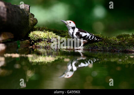 Middle-spotted woodpecker, Dendrocopos medius. single bird by water, Hungary, May 2016 - Stock Photo